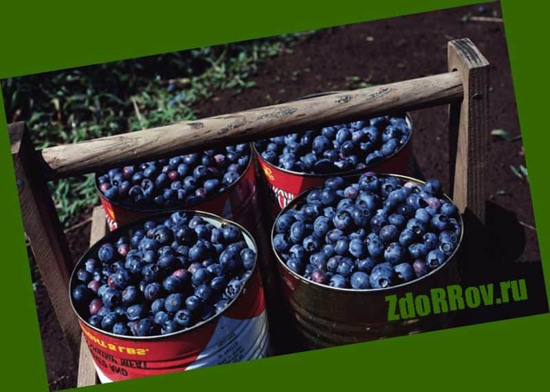 черника – мощный источник антоцианов и витаминов группы B