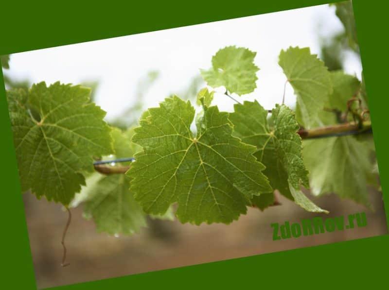 Виноградные листья эффективны при варикозе нижних конечностей
